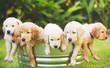 Golden Retriever Puppy - 69789218