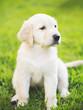 canvas print picture - Golden Retriever Puppy