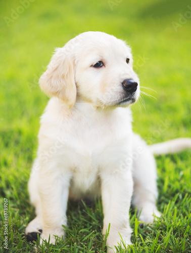 canvas print picture Golden Retriever Puppy