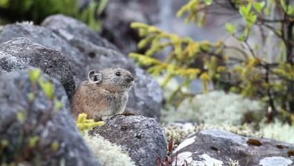 Northen Pika ,rock rabbit,whistling hare,Ochotona hyperborea