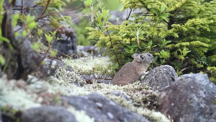Northen Pika ,rock rabbit,whistling hare,Ochotona hyperborea