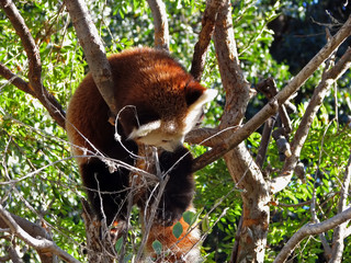 Red Panda in tree at San Diego California