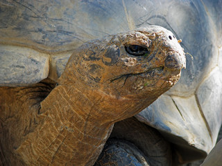 Huge Galapagos Tortoise at San Diego California