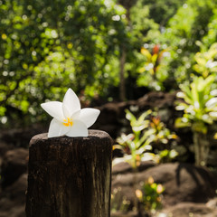 Tiare flower - Symbol of Tahiti