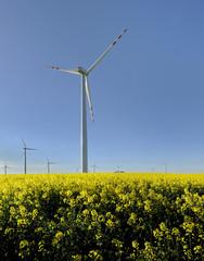 Krajobraz wiejski,wiatrak i dojrzewający rzepak