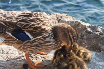 Mamma anatra con i piccoli