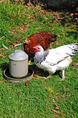 Chickens at water trough © Arena Photo UK