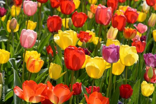 Foto op Plexiglas Narcis Tulip Garden