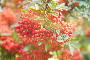 bunch of bright red berries