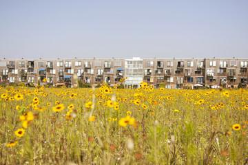 yellow flower and modern Dutch housing