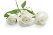 Obrazy na płótnie, fototapety, zdjęcia, fotoobrazy drukowane : Rose blanche