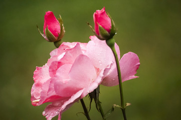 Blooming pink rose blossom with two buds on green background