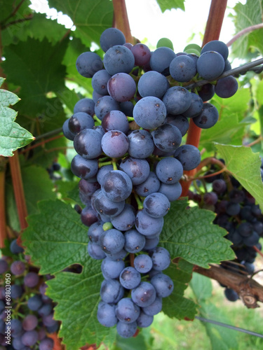 canvas print picture bunch of red grapes
