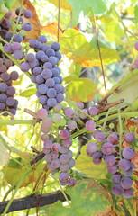 Branch of purple ripe grapes