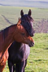 two Arabian horses