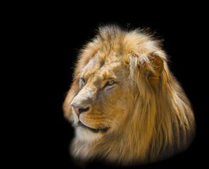 Portrait of a white lion on a black background