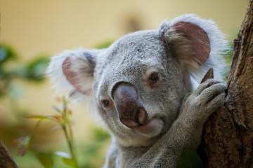 koala bear in forest
