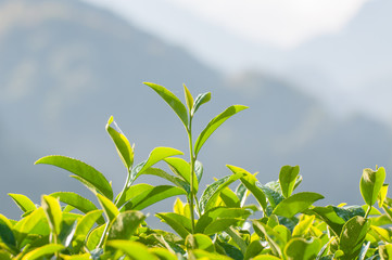 Tea Leaf with morning