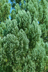 Green branches of Cedar