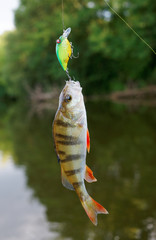 Small perch caught on a crank bait