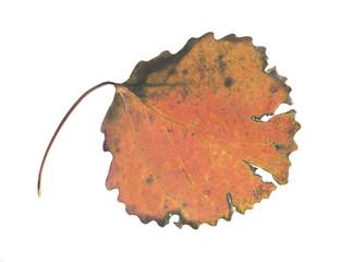 Autumn Aspen leaf, Populus tremula with autumn colors