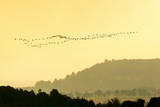 Flock of geese flying in the sunset