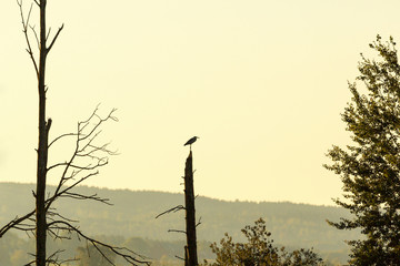 Grey Heron in a treetop