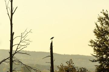 Grey Heron in a treetop