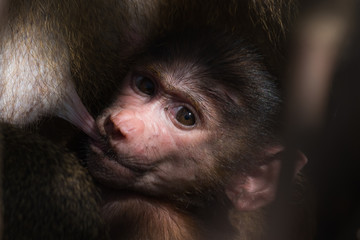 A baby Western Baboon (Papio papio) looking around while breastf