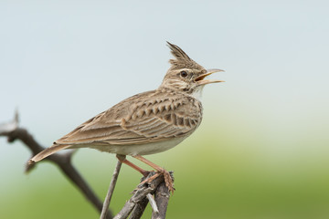 A Crested Lark (Galerida cristata) in song