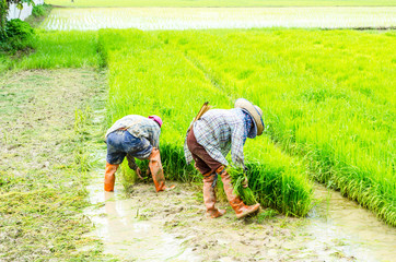 Farmers working in paddy field, Thailand