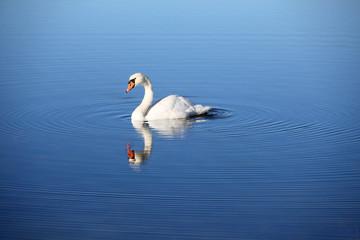 Einsamer Schwan im Wasser