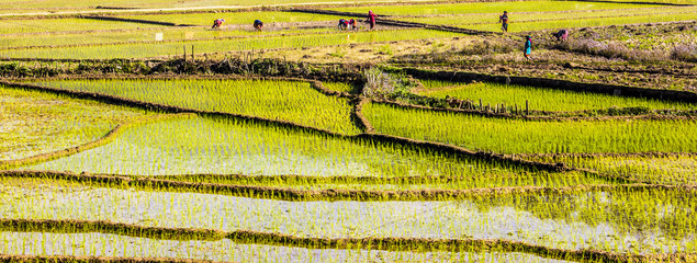 paddy fields, nepal