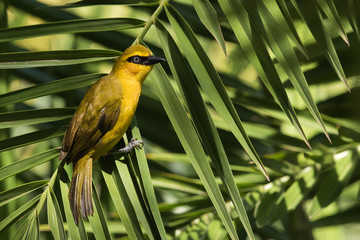 A female Black-necked Weaver (Ploceus nigricollis) resting on a