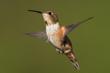 A female Rufous Hummingbird (Selasphorus rufus) hovering in flig