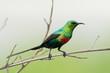 A male Beautiful Sunbird (Nectarinia pulchella) in full breeding