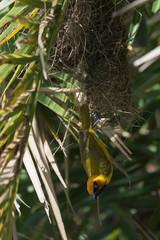 A male Black-necked Weaver (Ploceus nigricollis) hanging at the