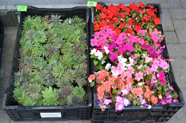 Two boxes with flower seedling are on sale in the market
