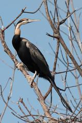 An African Darter (Anhinga rufa) perched on a mangrove branch