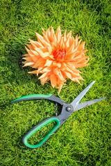 Blüte mit Gartenschere