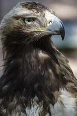 eagle brown plumage and pointed beak