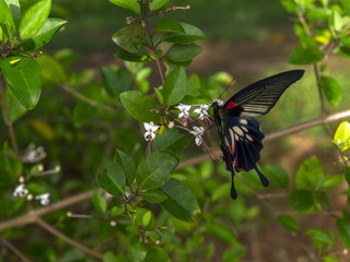 Papilio Polytes Butterfly on Clerodendrum Flower.