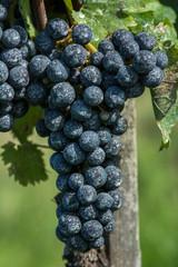 Insektizidbehandlung, Weintrauben 2