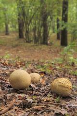 common earthballs