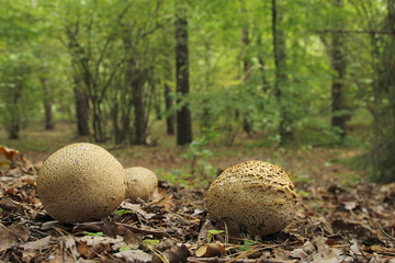 common earthballs