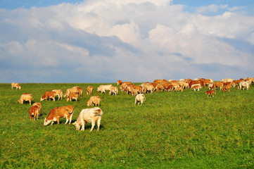 cows on pasture agriculture