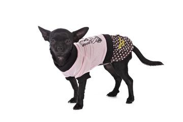 chihuahua femelle noir avec manteau rose