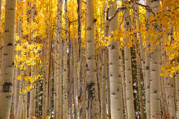 Aspen tree background
