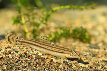 Japanese common striped loach (Cobitis striata) in Japan