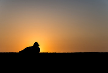 A seagull sits on the wall during sunset as silhouette picture